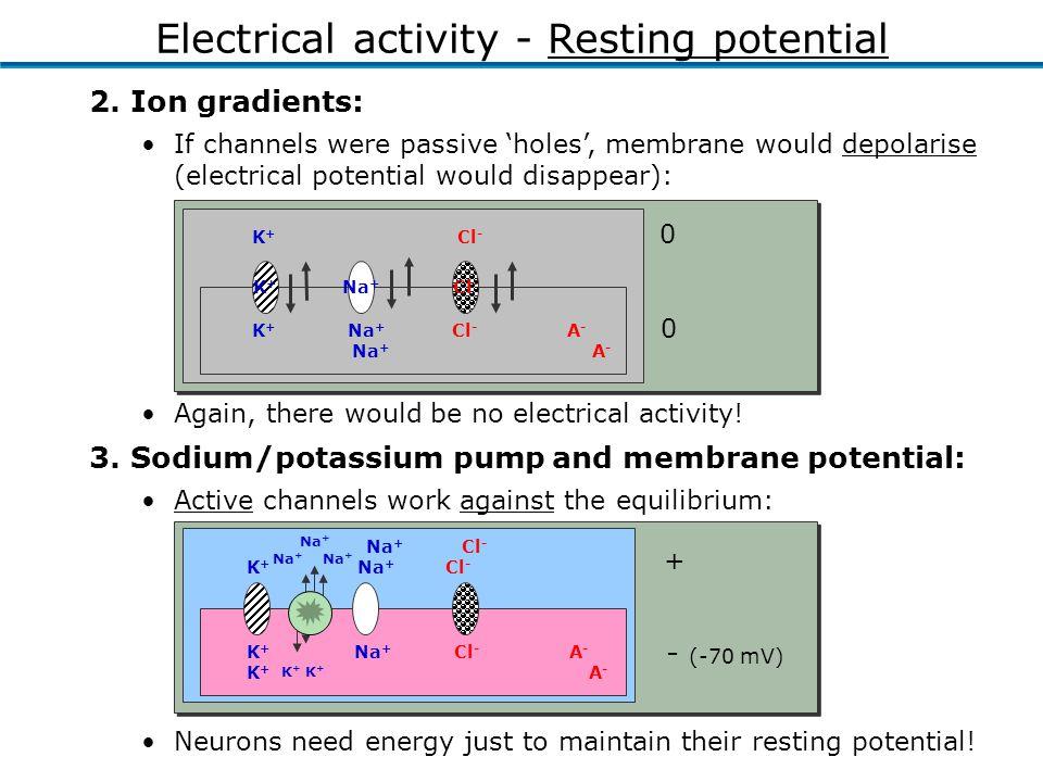 K + Na + Cl - A - K + A - Na + Cl - K + Na + Cl - Active channels work against the equilibrium: + - (-70 mV) 3.