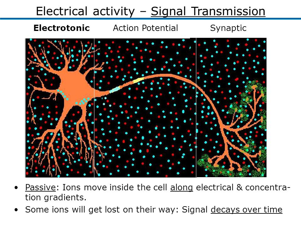 ElectrotonicAction Potential Synaptic Passive: Ions move inside the cell along electrical & concentra- tion gradients.