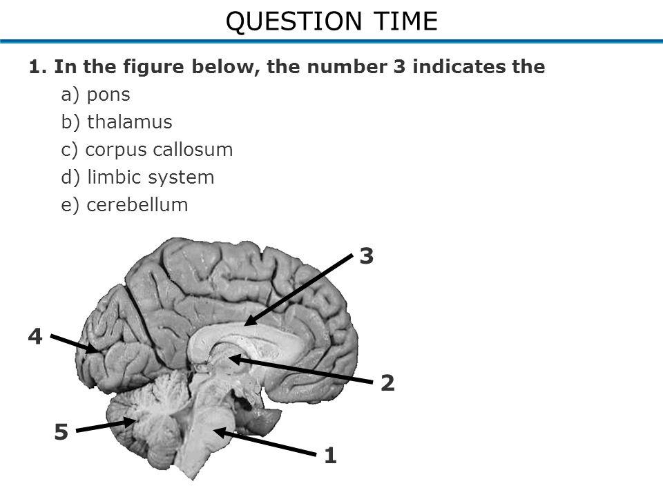 1. In the figure below, the number 3 indicates the a) pons b) thalamus c) corpus callosum d) limbic system e) cerebellum 2 1 3 4 5