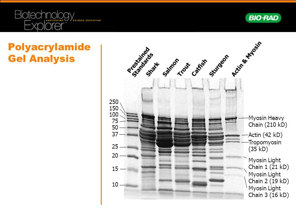 Polyacrylamide Gel Analysis Prestained Standards Shark Salmon Trout Catfish Sturgeon Actin & Myosin Myosin Heavy Chain (210 kD) Actin (42 kD) Tropomyosin (35 kD) Myosin Light Chain 1 (21 kD) Myosin Light Chain 2 (19 kD) Myosin Light Chain 3 (16 kD) 10 15 20 25 37 50 75 100 150 250