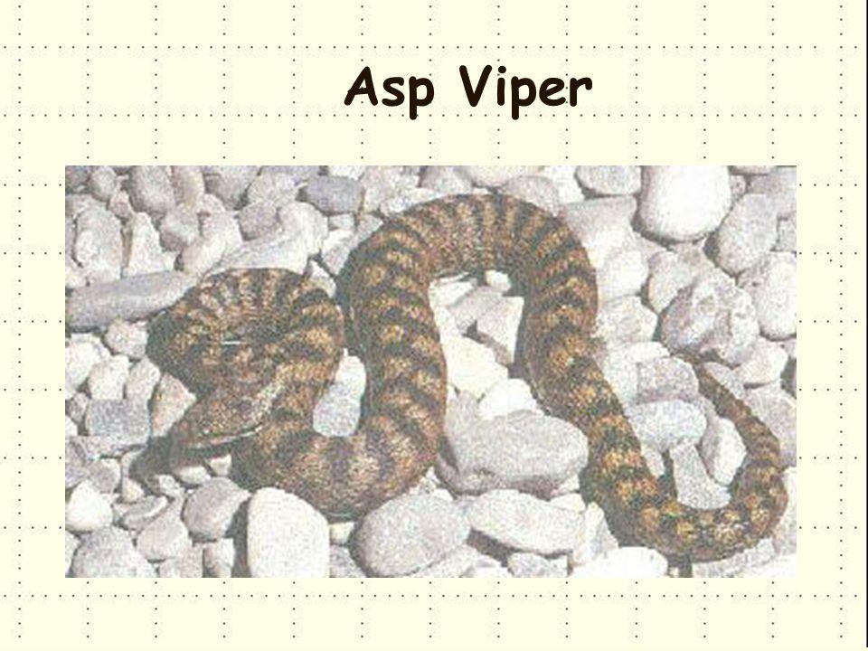 Asp Viper