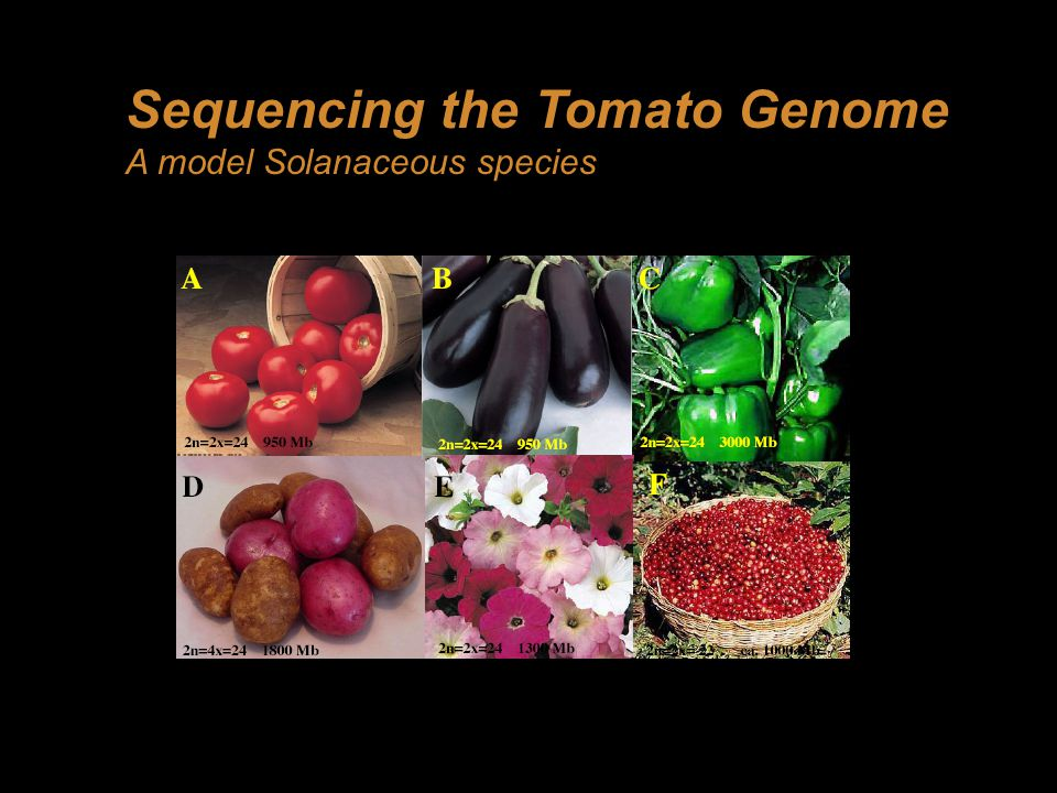 Uses of the tomato genome sequence 1)Representative genome of Solanaceae, will be extremely useful in comparative genomics and data mining 2)Greatly facilitate map based cloning of important fruit quality genes in tomato 3)Tomato and potato carry a rich diversity of genes for biotic and abiotic stress tolerance 4)Underpin current research interests in Solanaceaous species in the UK 5)Tomato VIGS for functional genomics