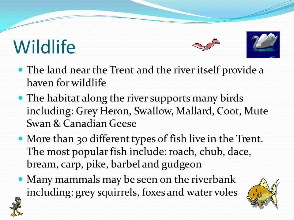 Wildlife The land near the Trent and the river itself provide a haven for wildlife The habitat along the river supports many birds including: Grey Heron, Swallow, Mallard, Coot, Mute Swan & Canadian Geese More than 30 different types of fish live in the Trent.