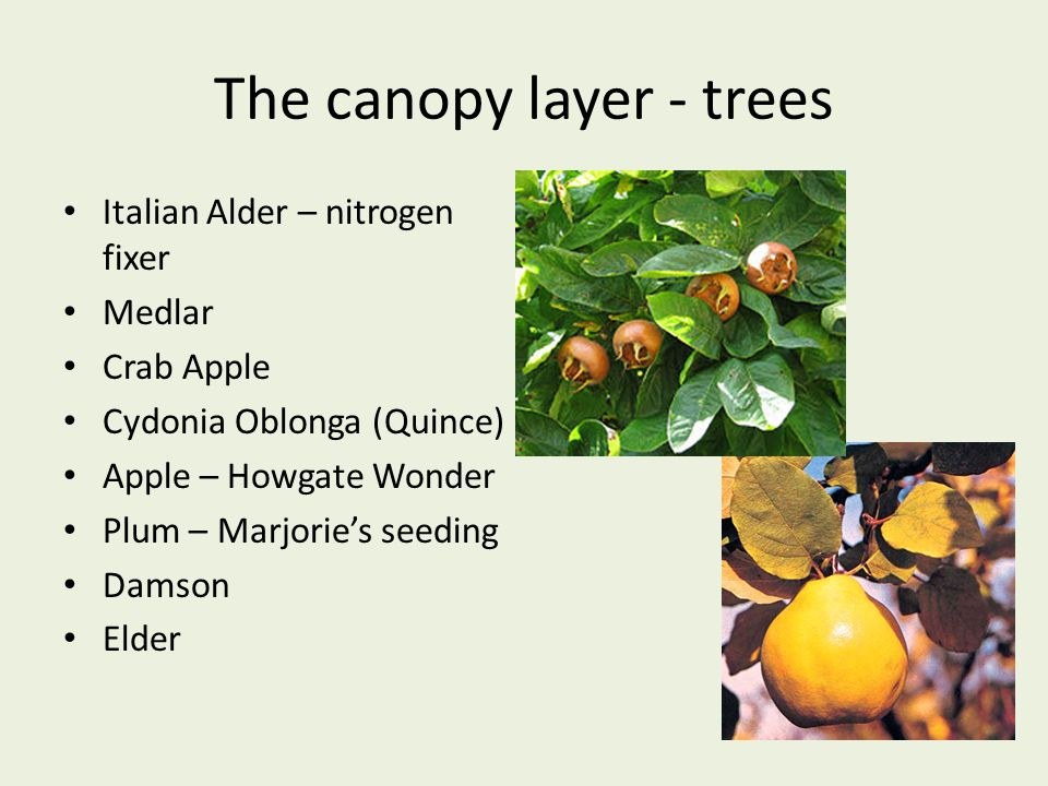 The canopy layer - trees Italian Alder – nitrogen fixer Medlar Crab Apple Cydonia Oblonga (Quince) Apple – Howgate Wonder Plum – Marjorie's seeding Da