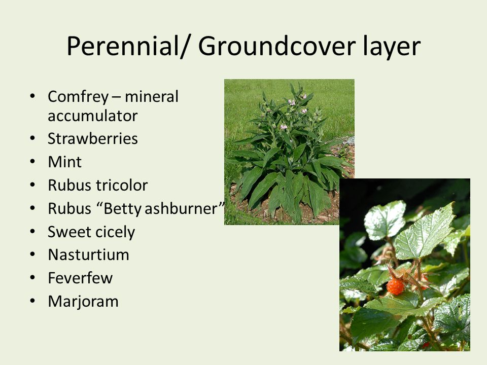 "Perennial/ Groundcover layer Comfrey – mineral accumulator Strawberries Mint Rubus tricolor Rubus ""Betty ashburner"" Sweet cicely Nasturtium Feverfew M"