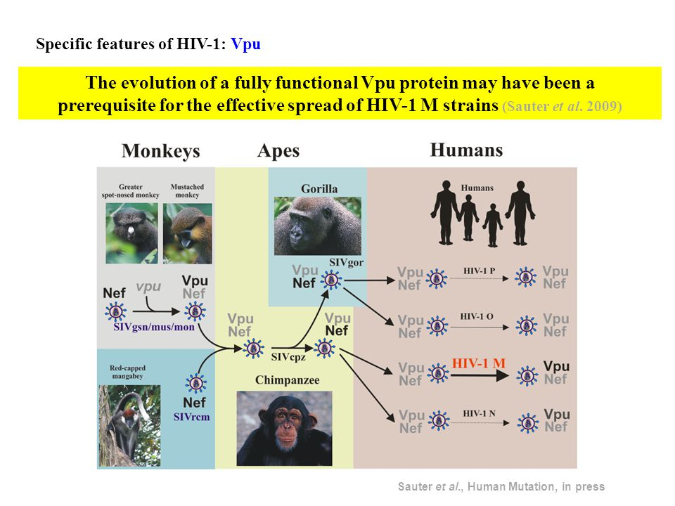 Specific features of HIV-1: Vpu The evolution of a fully functional Vpu protein may have been a prerequisite for the effective spread of HIV-1 M strains (Sauter et al.