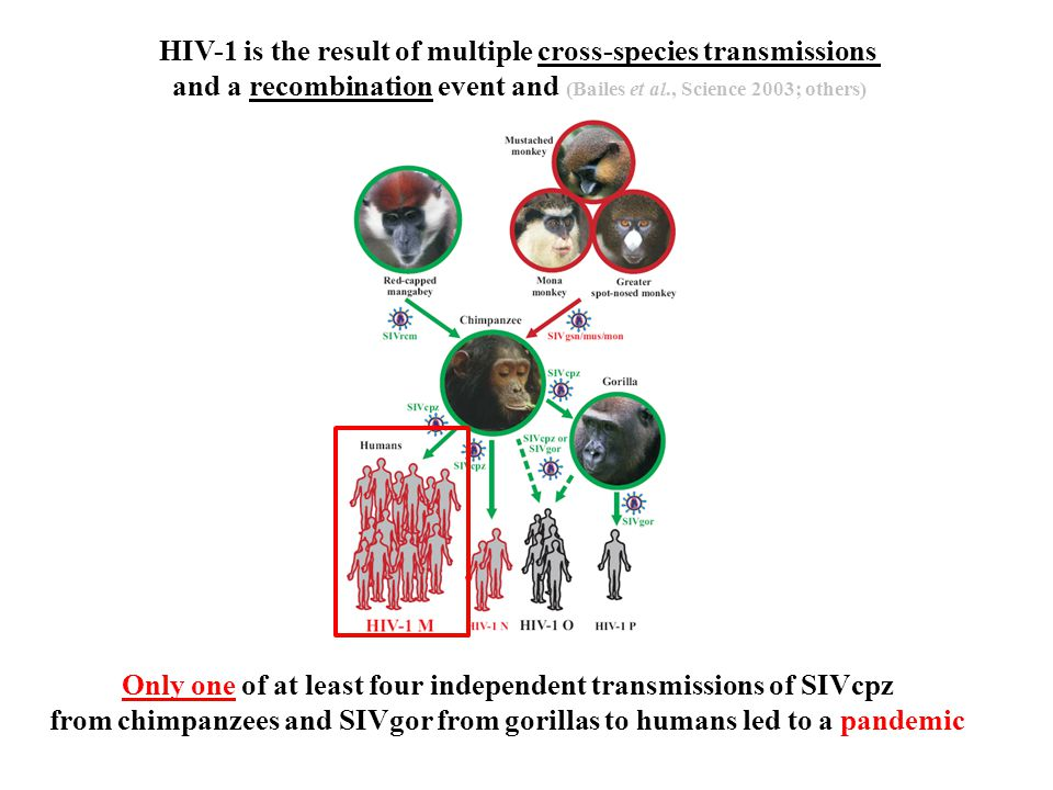 HIV-1 is the result of multiple cross-species transmissions and a recombination event and (Bailes et al., Science 2003; others) Only one of at least four independent transmissions of SIVcpz from chimpanzees and SIVgor from gorillas to humans led to a pandemic