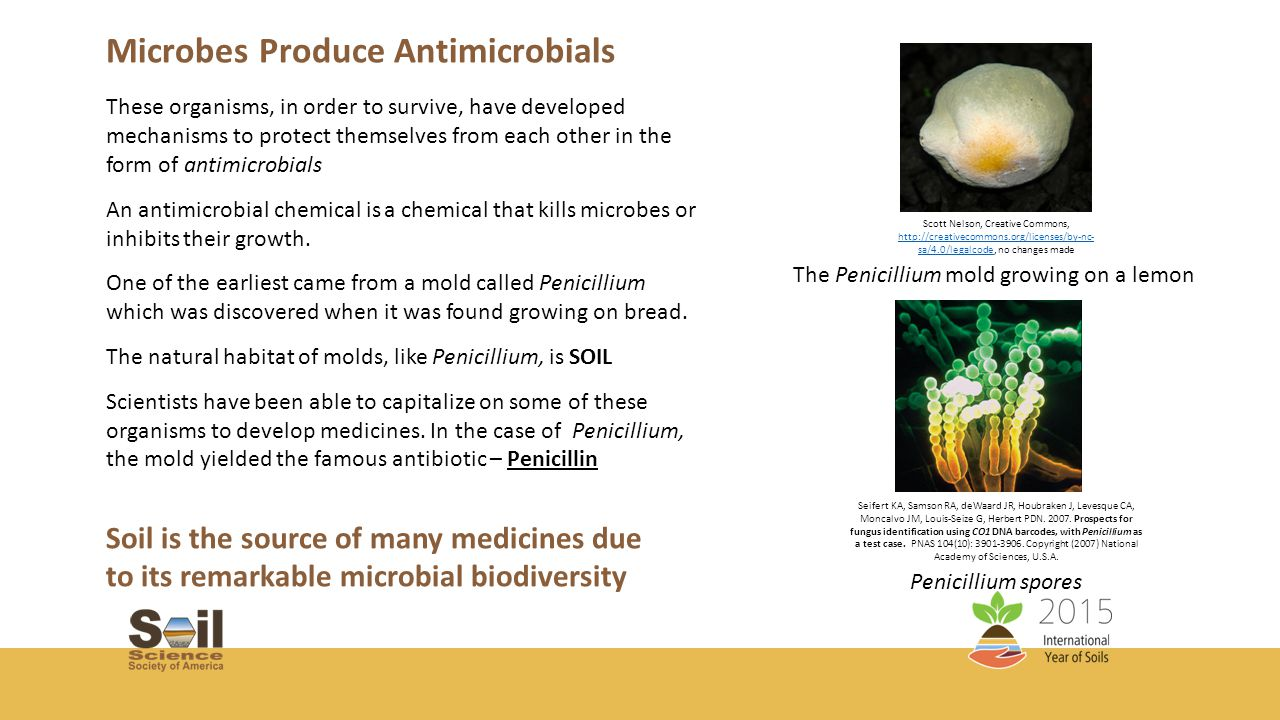 Streptomyces - The Genus that is the work horse for producing antibiotics Streptomyces noursei – Antifungal Source of Chloramphenicol, antibacterial first to be produced in large scale Nematicide (Ivermectin) Insecticide (Abamectin) Streptomyces venezuelae http://avermitilis.ls.kitasato-u.ac.jp/images/spores.jpeg http://avermitilis.ls.kitasato-u.ac.jp/images/spores.jpeg with permission from Prof.