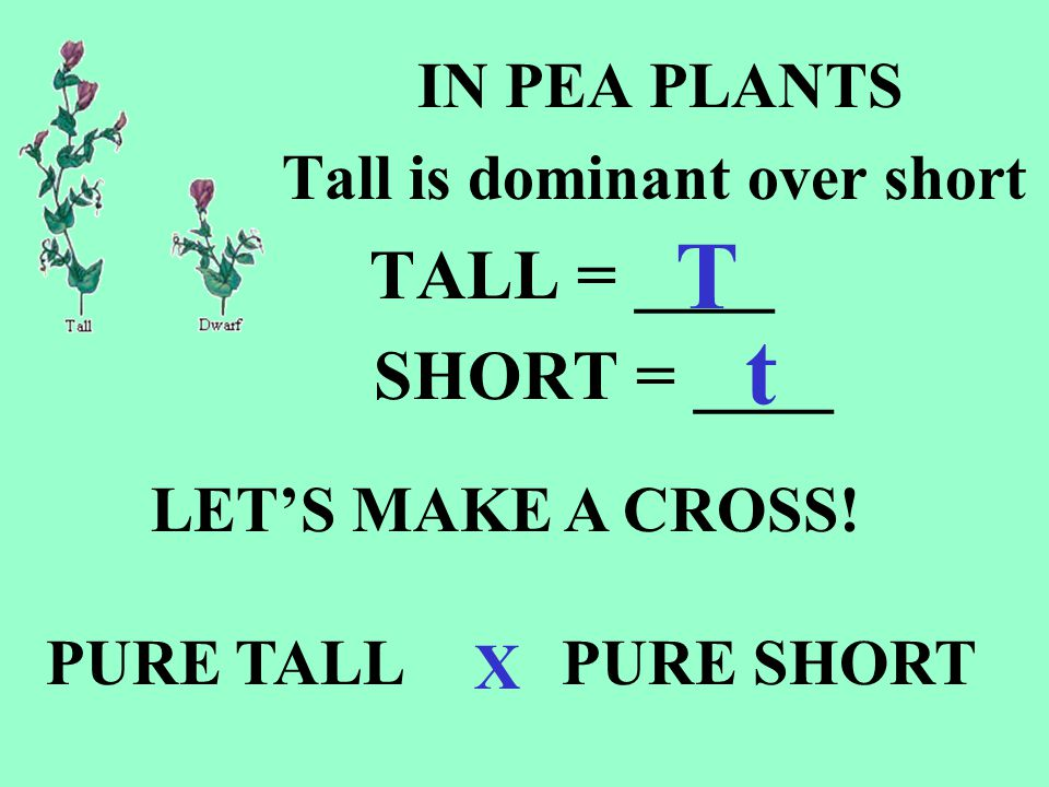 PURE TALL parent What are the parent alleles.