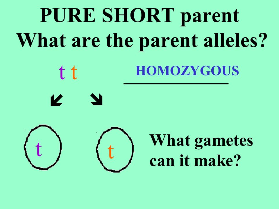 GENOTYPE _____ PHENOTYPE _______ _____ of the offspring ____ % ___/4 will be TT t t T tT tT t T tT t T tT t TALL ALL 100 4