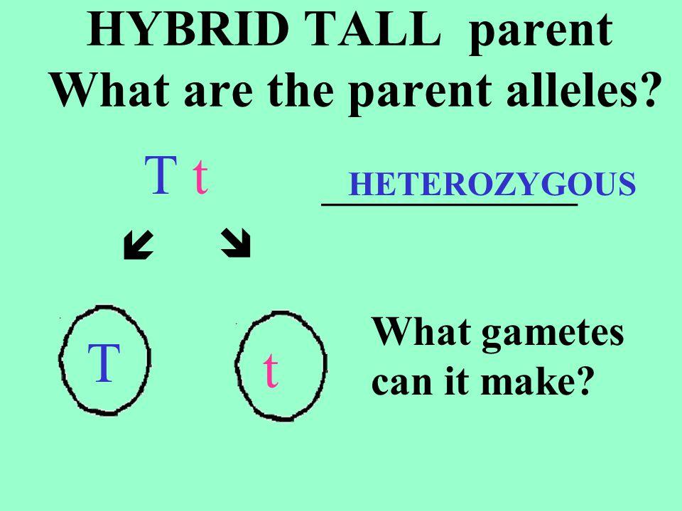 GENOTYPES ¼ = _____ ½ = _____ ¼ = _____ Tt T t T TT T T t T tT t t tt t PHENOTYPES ____ or ____% _________ ____ or ____% _________ TT 75 Tt tt 3/4 1/4 SHORT TALL 25