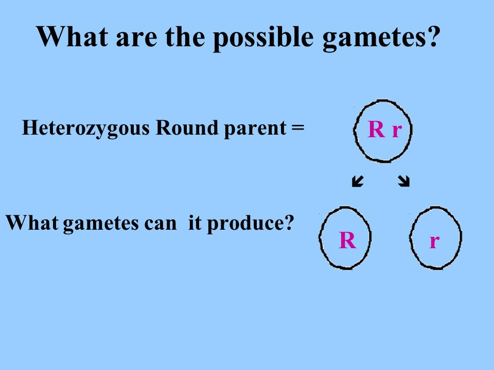 Hybrid Tall parent = What gametes can it produce? What are the possible gametes?   Tt T t