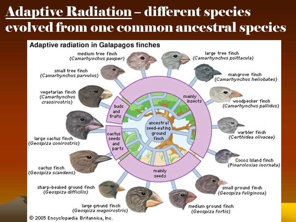Adaptive Radiation – different species evolved from one common ancestral species