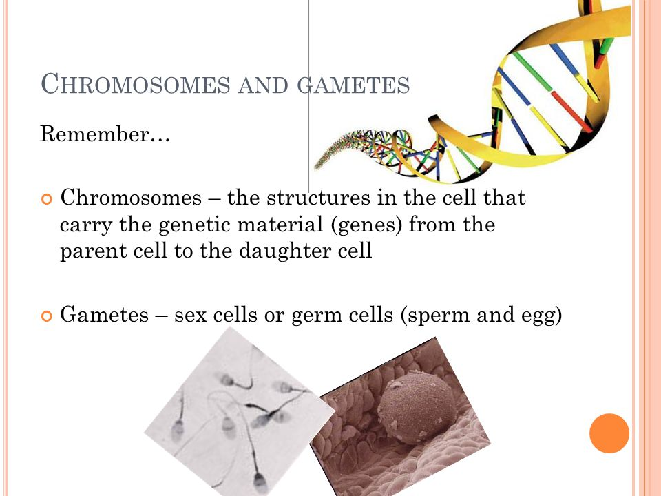 C HROMOSOMES AND GAMETES Remember… Chromosomes – the structures in the cell that carry the genetic material (genes) from the parent cell to the daughter cell Gametes – sex cells or germ cells (sperm and egg)