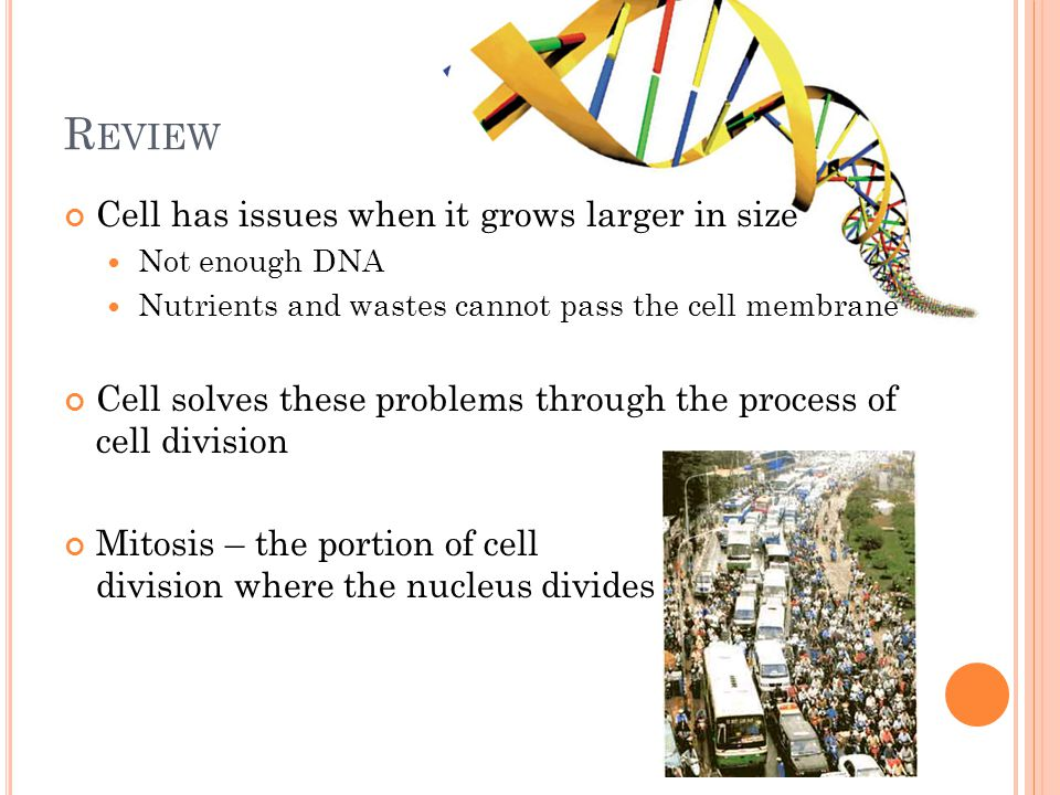 R EVIEW Cell has issues when it grows larger in size Not enough DNA Nutrients and wastes cannot pass the cell membrane Cell solves these problems through the process of cell division Mitosis – the portion of cell division where the nucleus divides