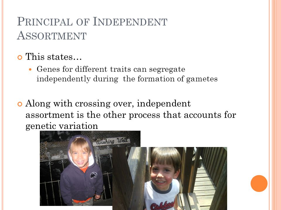 P RINCIPAL OF I NDEPENDENT A SSORTMENT This states… Genes for different traits can segregate independently during the formation of gametes Along with crossing over, independent assortment is the other process that accounts for genetic variation