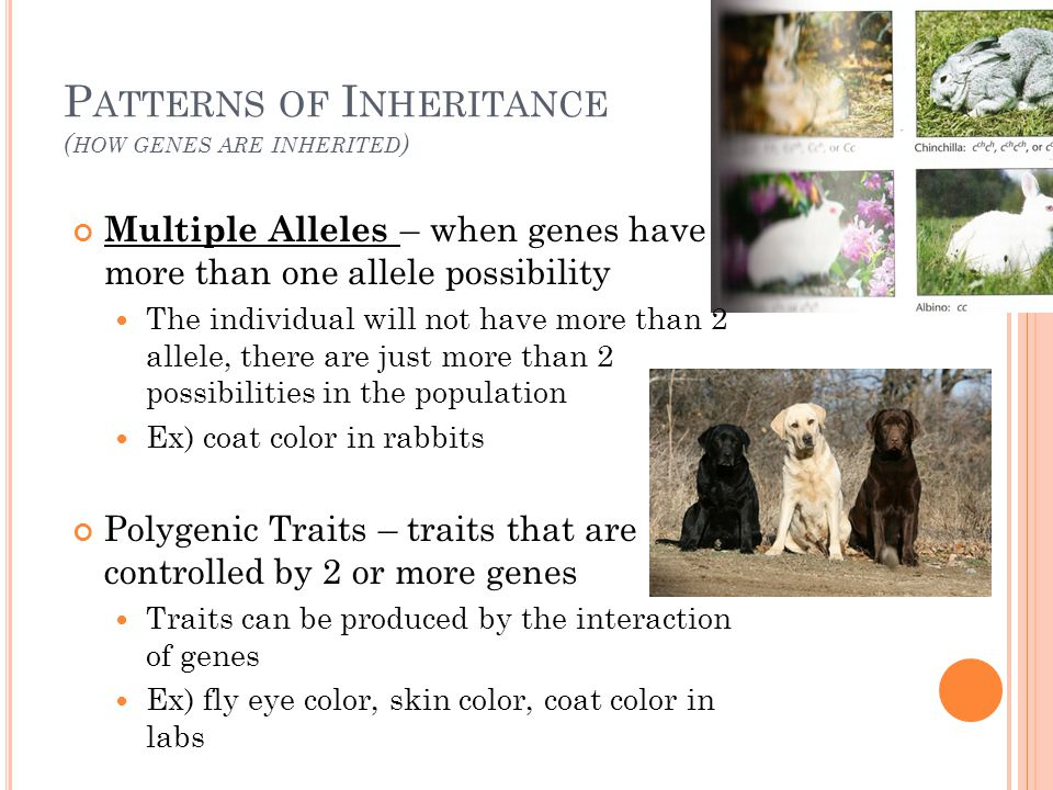 P ATTERNS OF I NHERITANCE ( HOW GENES ARE INHERITED ) Multiple Alleles – when genes have more than one allele possibility The individual will not have