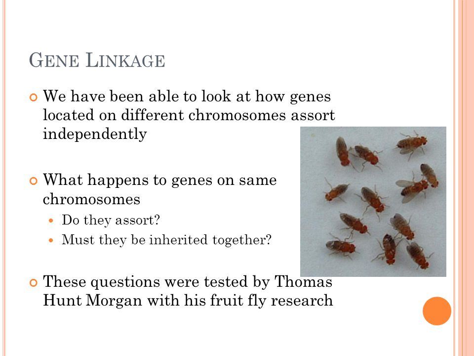 G ENE L INKAGE We have been able to look at how genes located on different chromosomes assort independently What happens to genes on same chromosomes