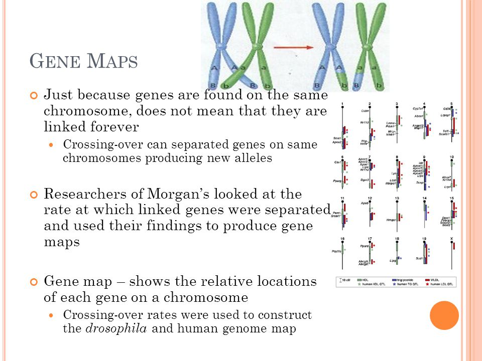 G ENE M APS Just because genes are found on the same chromosome, does not mean that they are linked forever Crossing-over can separated genes on same chromosomes producing new alleles Researchers of Morgan's looked at the rate at which linked genes were separated and used their findings to produce gene maps Gene map – shows the relative locations of each gene on a chromosome Crossing-over rates were used to construct the drosophila and human genome map
