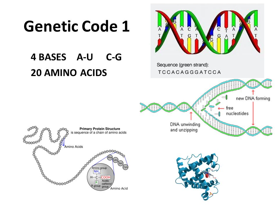 Genetic Code 1 4 BASES A-U C-G 20 AMINO ACIDS