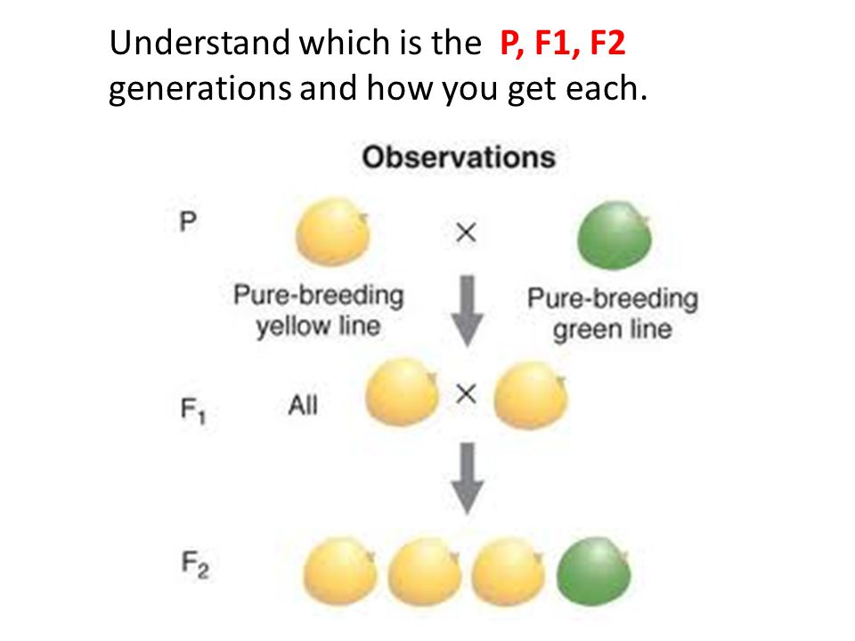 Understand which is the P, F1, F2 generations and how you get each.