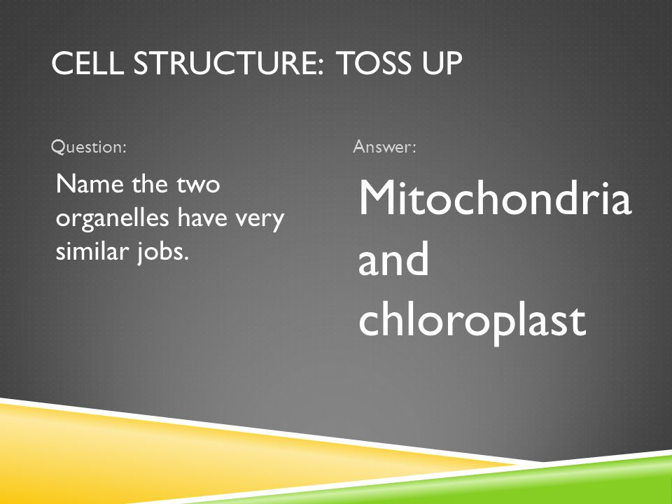 CELL STRUCTURE: TOSS UP Question:Answer: Name the two organelles have very similar jobs. Mitochondria and chloroplast