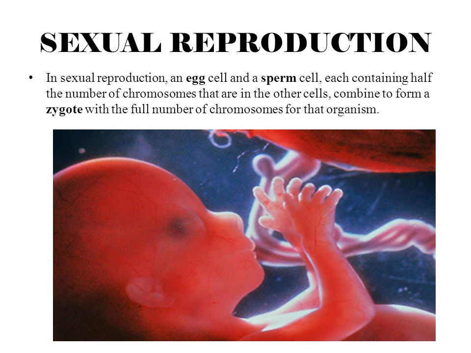 SEXUAL REPRODUCTION Unlike asexual reproduction, sexual reproduction results in offspring that are not exactly like either parent.