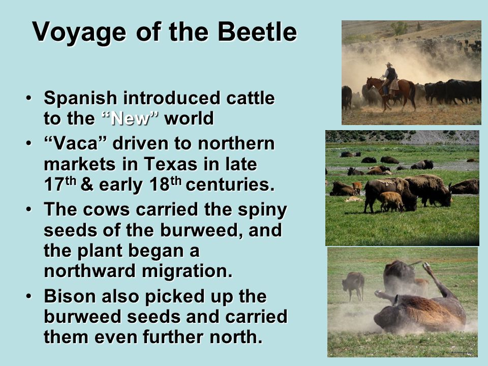 Voyage of the Beetle Spanish introduced cattle to the New worldSpanish introduced cattle to the New world Vaca driven to northern markets in Texas in late 17 th & early 18 th centuries. Vaca driven to northern markets in Texas in late 17 th & early 18 th centuries.