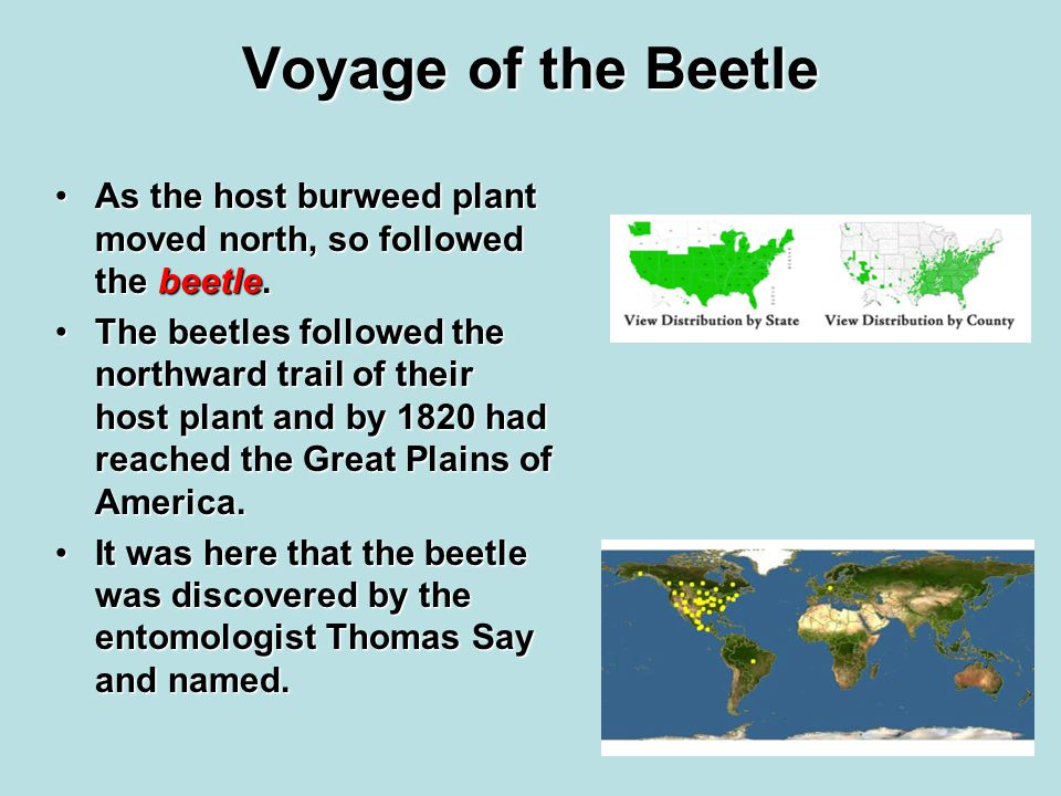 Voyage of the Beetle As the host burweed plant moved north, so followed the beetle.As the host burweed plant moved north, so followed the beetle.