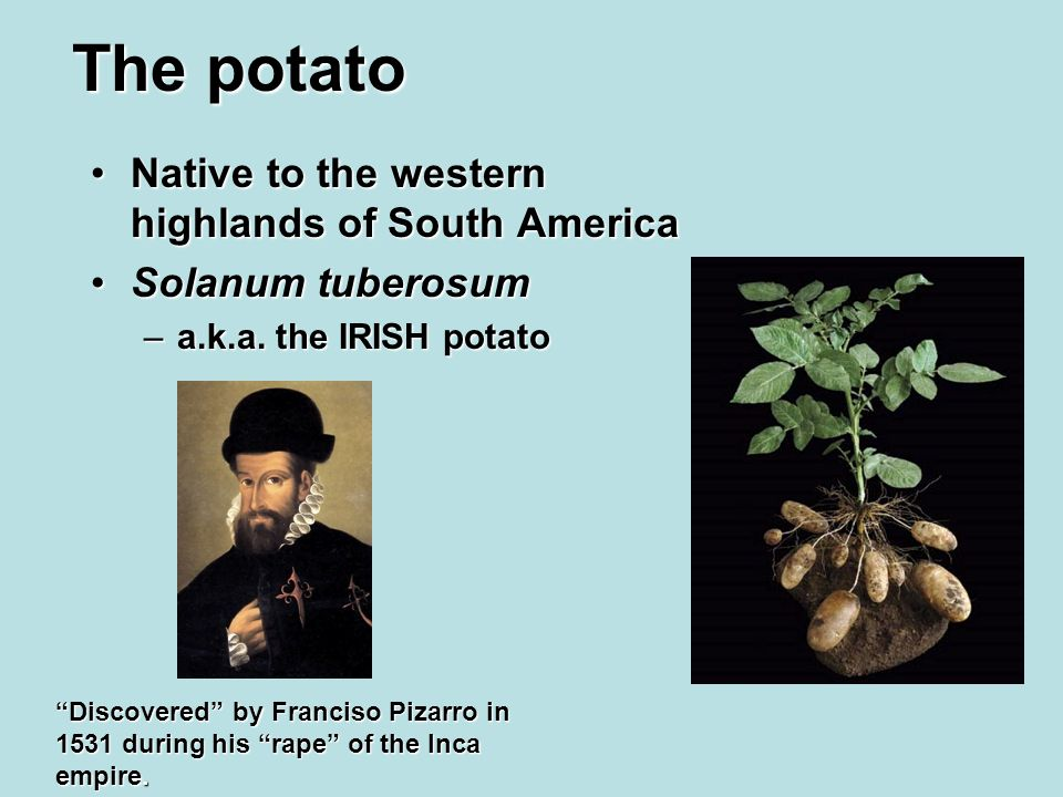 The potato Native to the western highlands of South AmericaNative to the western highlands of South America Solanum tuberosumSolanum tuberosum –a.k.a.