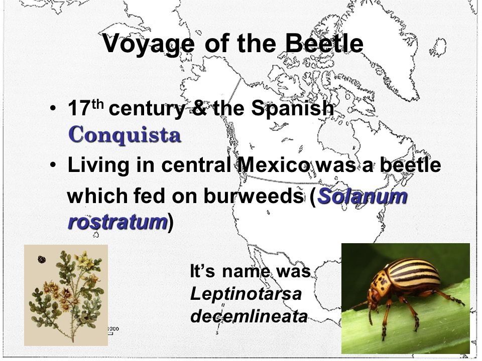 Voyage of the Beetle 17 th century & the Spanish Conquista17 th century & the Spanish Conquista Living in central Mexico was a beetleLiving in central Mexico was a beetle which fed on burweeds (Solanum rostratum) It's name was Leptinotarsa decemlineata