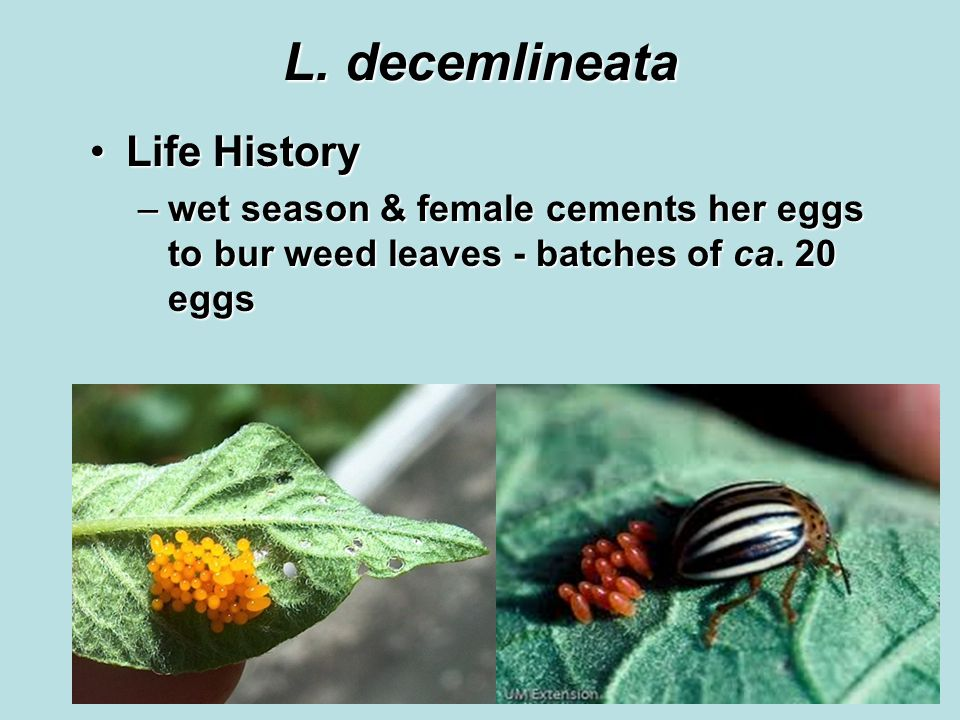 L. decemlineata Life HistoryLife History –wet season & female cements her eggs to bur weed leaves - batches of ca. 20 eggs