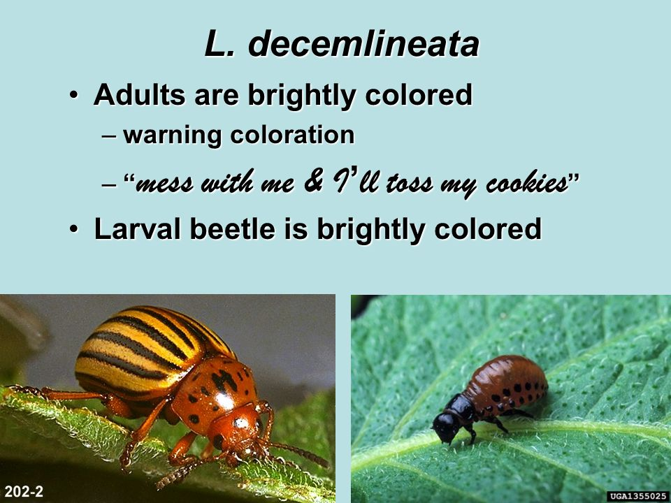 "L. decemlineata Adults are brightly coloredAdults are brightly colored –warning coloration –"" mess with me & I ' ll toss my cookies "" Larval beetle is"