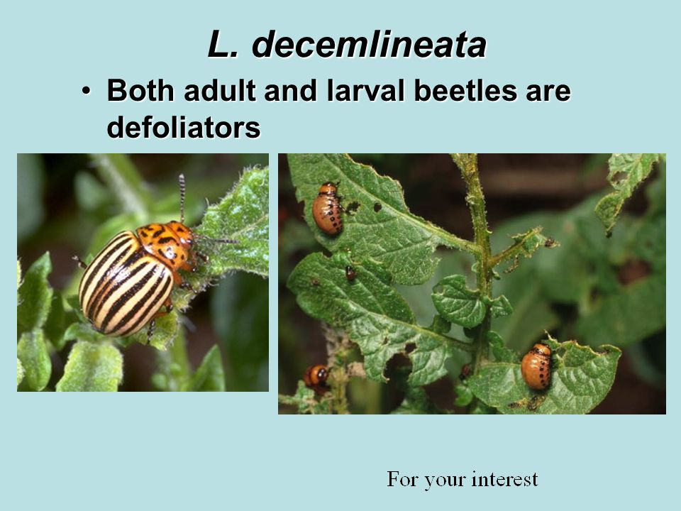 L. decemlineata Both adult and larval beetles are defoliatorsBoth adult and larval beetles are defoliators