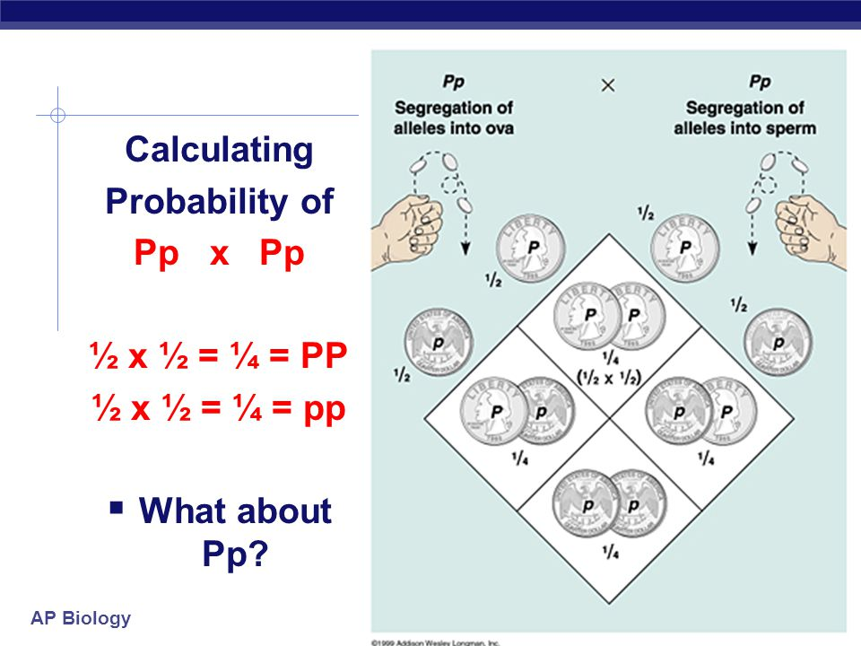 AP Biology Calculating Probability of Pp x Pp ½ x ½ = ¼ = PP ½ x ½ = ¼ = pp  What about Pp?