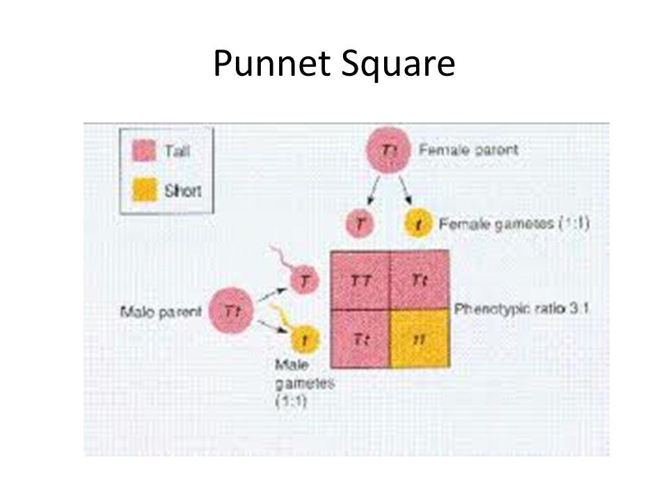 Punnet Square