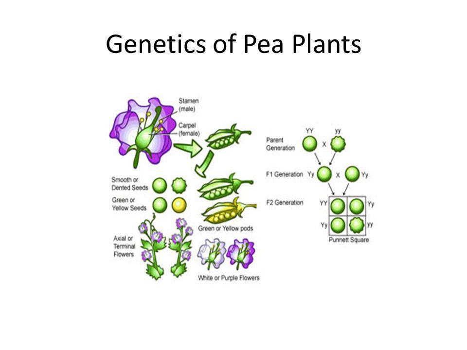 Genetics of Pea Plants