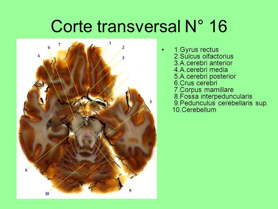 Corte transversal N° 16 1.Gyrus rectus 2.Sulcus olfactorius 3.A.cerebri anterior 4.A.cerebri media 5.A.cerebri posterior 6.Crus cerebri 7.Corpus mamillare 8.Fossa interpeduncularis 9.Pedunculus cerebellaris sup.