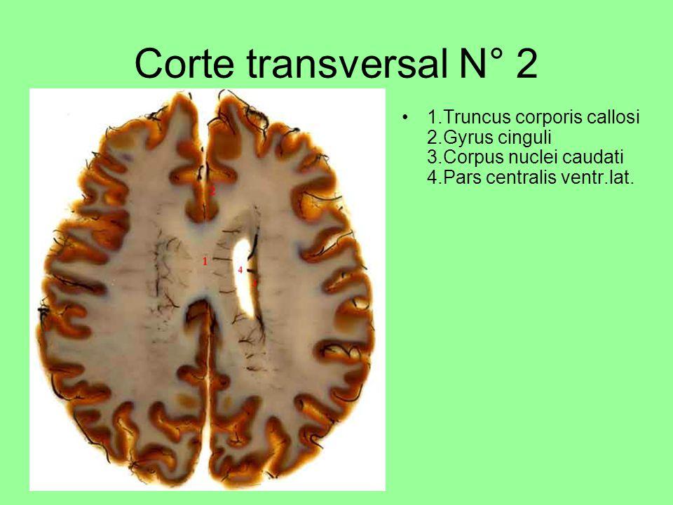 Corte transversal N° 2 1.Truncus corporis callosi 2.Gyrus cinguli 3.Corpus nuclei caudati 4.Pars centralis ventr.lat.