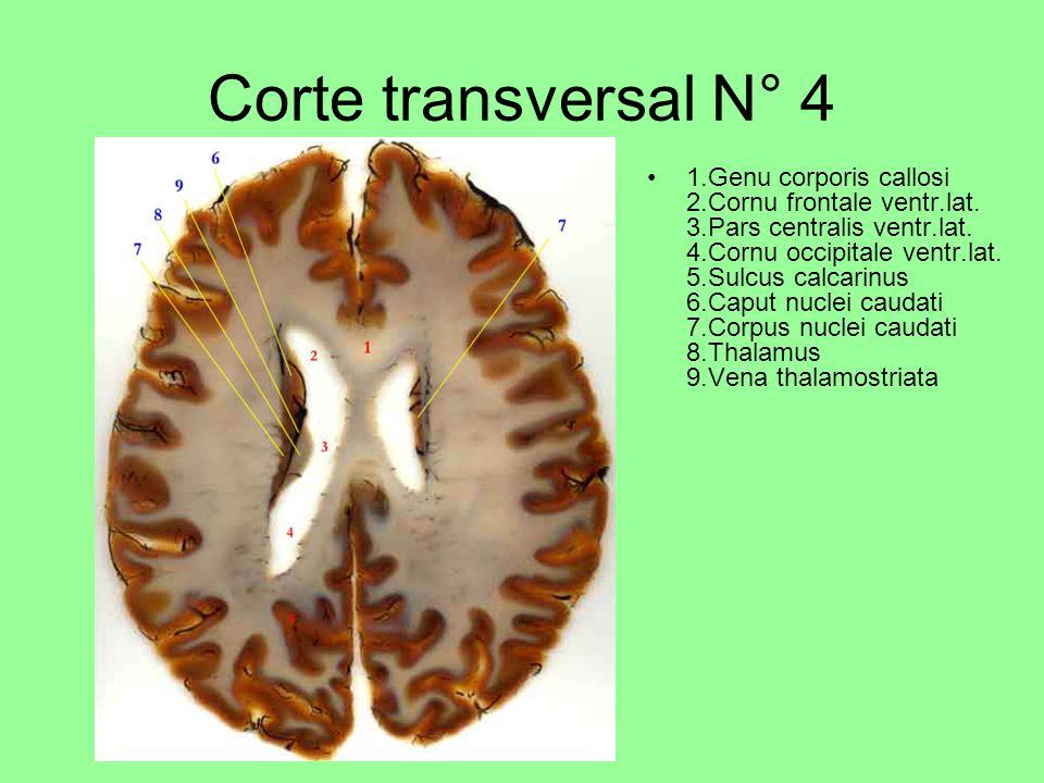 Corte transversal N° 4 1.Genu corporis callosi 2.Cornu frontale ventr.lat.