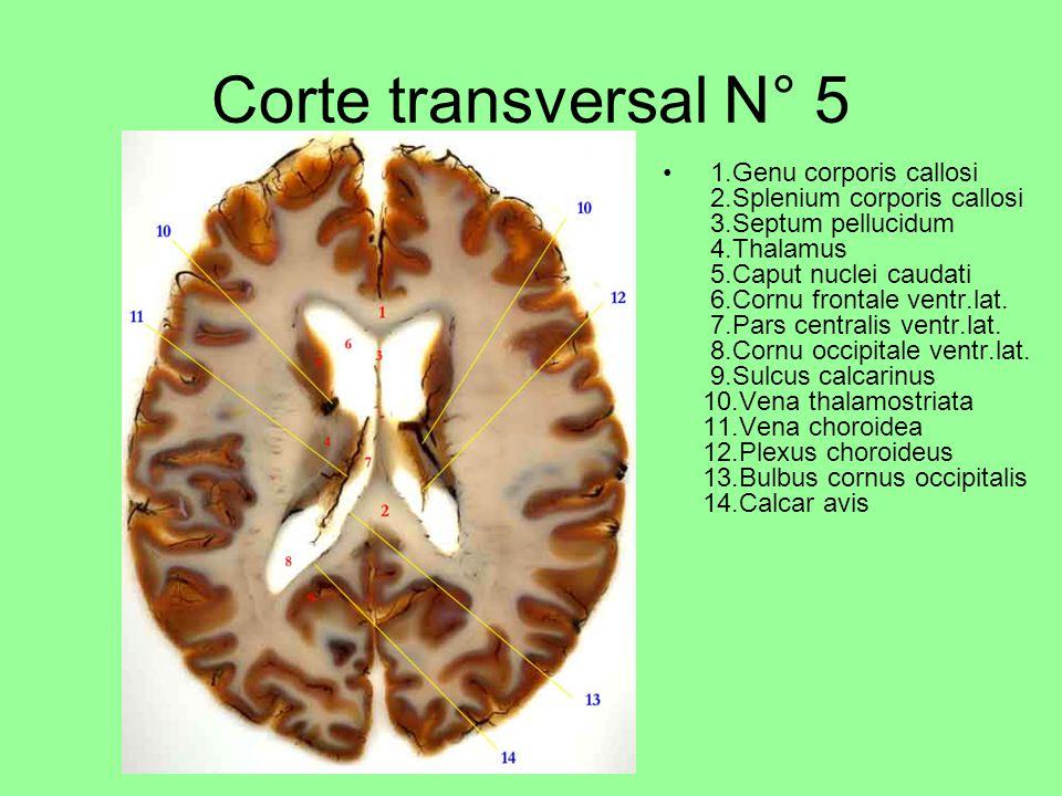 Corte transversal N° 5 1.Genu corporis callosi 2.Splenium corporis callosi 3.Septum pellucidum 4.Thalamus 5.Caput nuclei caudati 6.Cornu frontale ventr.lat.