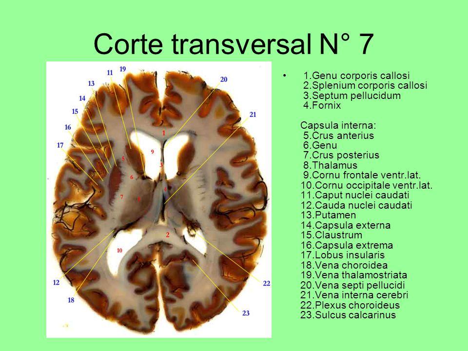 Corte transversal N° 7 1.Genu corporis callosi 2.Splenium corporis callosi 3.Septum pellucidum 4.Fornix Capsula interna: 5.Crus anterius 6.Genu 7.Crus posterius 8.Thalamus 9.Cornu frontale ventr.lat.