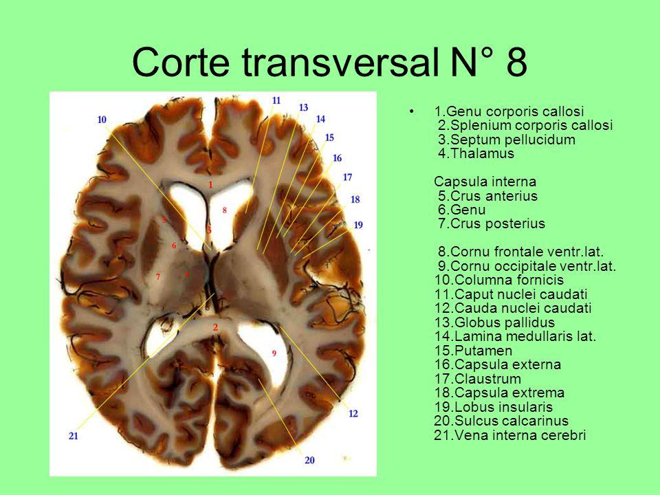 Corte transversal N° 8 1.Genu corporis callosi 2.Splenium corporis callosi 3.Septum pellucidum 4.Thalamus Capsula interna 5.Crus anterius 6.Genu 7.Crus posterius 8.Cornu frontale ventr.lat.