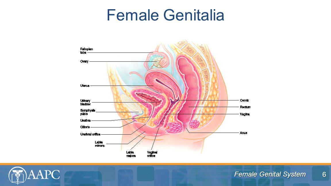 Female Genital System Female Genitalia 6