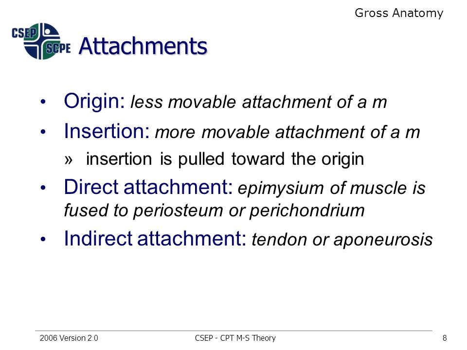 CSEP - CPT M-S Theory2006 Version 2.08 Attachments Origin: less movable attachment of a m Insertion: more movable attachment of a m »insertion is pulled toward the origin Direct attachment: epimysium of muscle is fused to periosteum or perichondrium Indirect attachment: tendon or aponeurosis Gross Anatomy