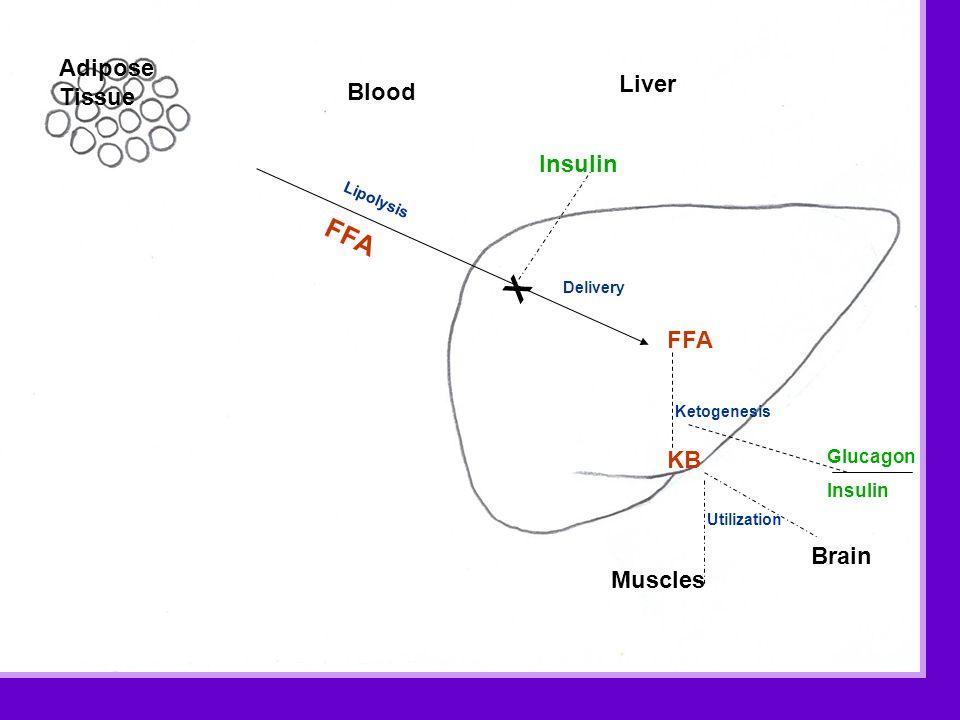 Adipose Tissue Blood Insulin Lipolysis FFA Delivery KB X FFA Muscles Brain Utilization Liver Ketogenesis Glucagon Insulin