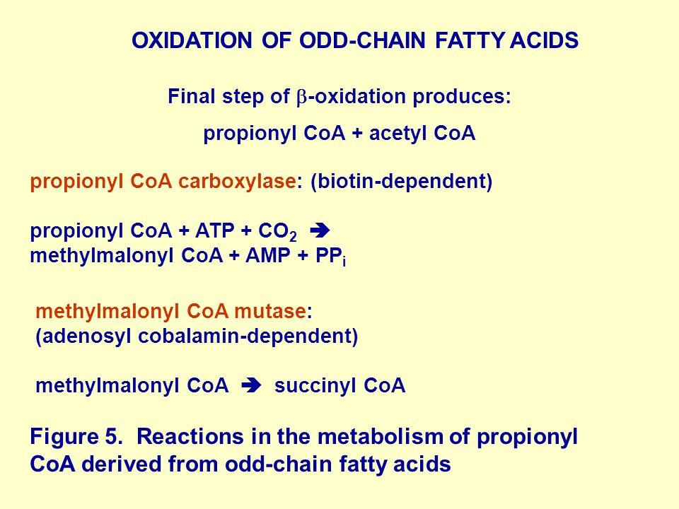 propionyl CoA carboxylase: (biotin-dependent) propionyl CoA + ATP + CO 2  methylmalonyl CoA + AMP + PP i methylmalonyl CoA mutase: (adenosyl cobalamin-dependent) methylmalonyl CoA  succinyl CoA Figure 5.