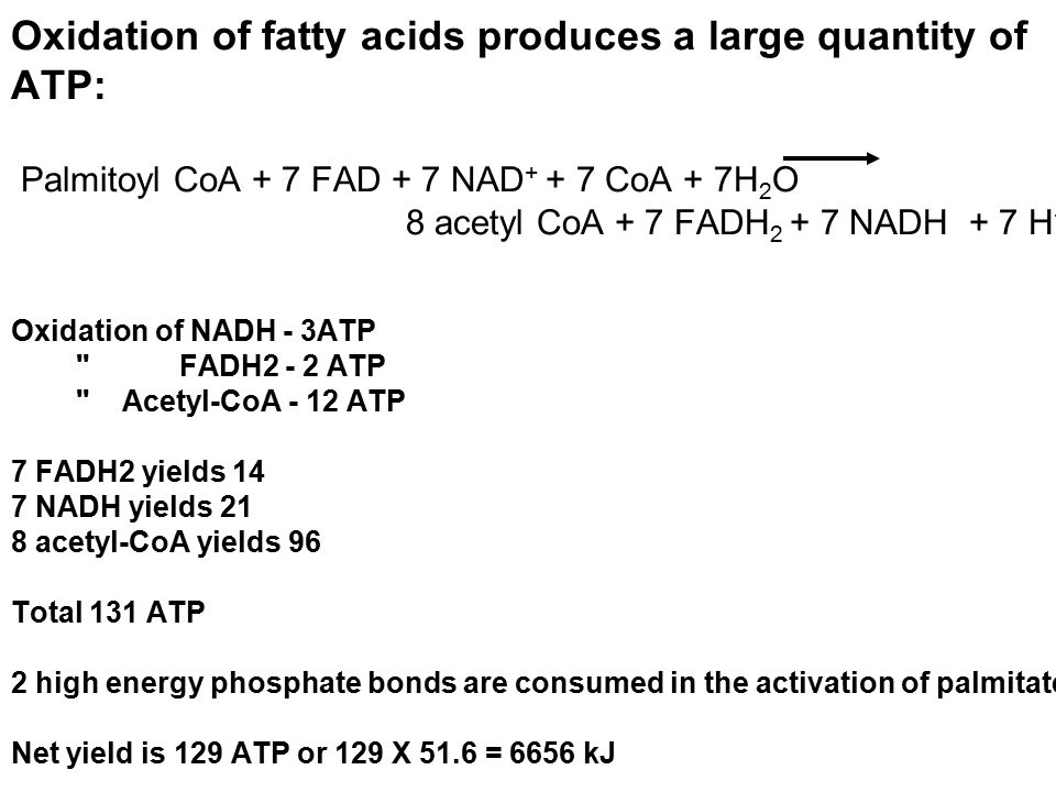 Oxidation of fatty acids produces a large quantity of ATP: Palmitoyl CoA + 7 FAD + 7 NAD + + 7 CoA + 7H 2 O 8 acetyl CoA + 7 FADH 2 + 7 NADH + 7 H + O