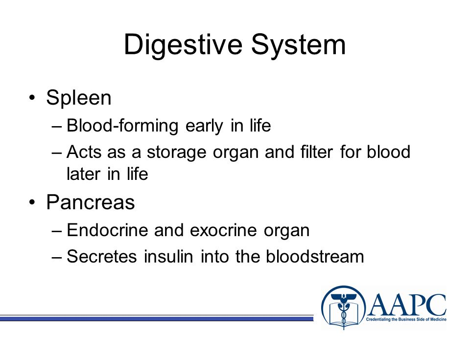 Digestive System Spleen –Blood-forming early in life –Acts as a storage organ and filter for blood later in life Pancreas –Endocrine and exocrine organ –Secretes insulin into the bloodstream