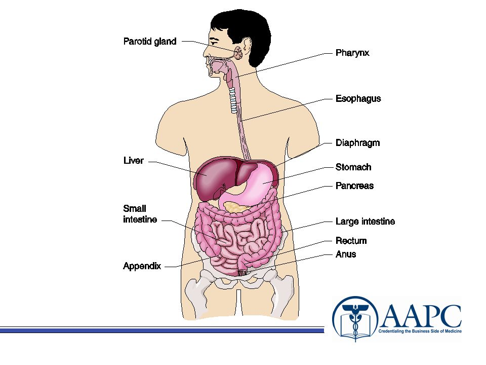 CPT® Stomach (43500-43999) –Incision Foreign body removal Excision of stomach tumor –Excision Gastrectomy –Total or partial –Additional procedures performed –Introduction Placement, changing and reposistioning of feeding tubes –Bariatric Surgery –Other Procedures